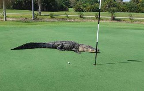 野生动物乱入奥运会 高尔夫赛场遇鳄鱼